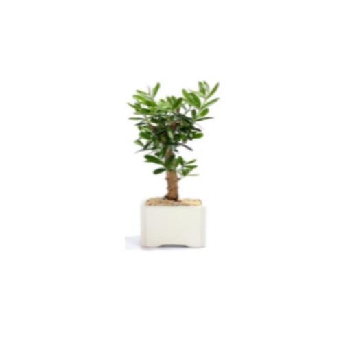 עץ זית קטן- סמל השלום